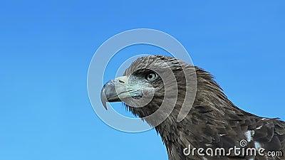 Golden Eagle Aquila Chrysaetos with blue sky. stock video footage