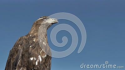 Golden Eagle Aquila Chrysaetos with blue sky. stock footage