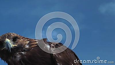 Golden Eagle Aquila Chrysaetos with blue sky. stock video