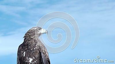 Golden Eagle Aquila Chrysaetos. stock video