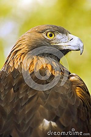 Golden Eagle (Aquila chrysaetos) Profile over Green-Gold Background
