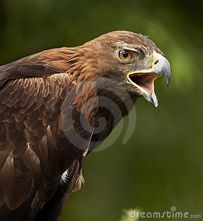 Golden Eagle (Aquila chrysaetos) - Scotland