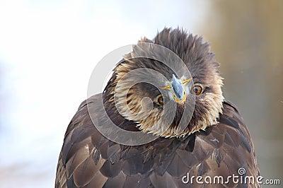 Golden Eagle Bending Over Backwards