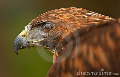 Golden Eagle Eye with Wing