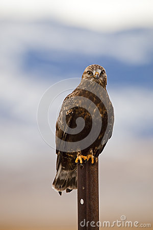 Rough-legged hawk Buteo lagopus
