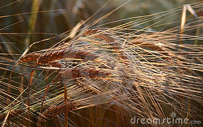 Golden Ears of Barley