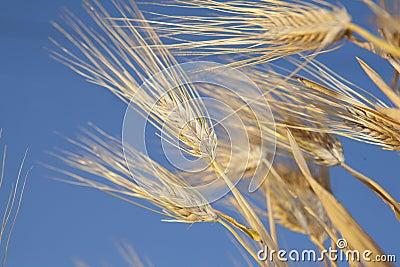 Golden ears in the field