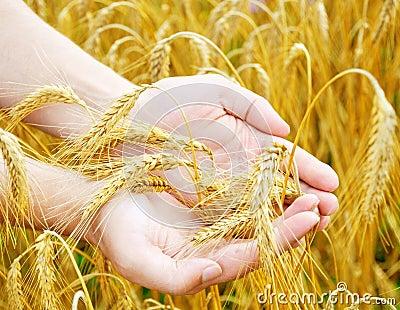 Golden ears in hands