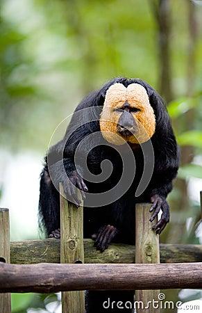 Golden-face saki monkey