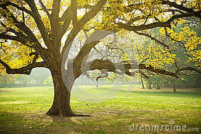 Golden Fall Foliage Autumn Yellow Maple Tree