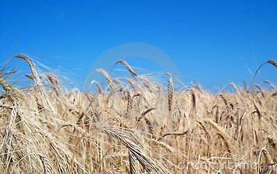 Golden fields Stock Photo