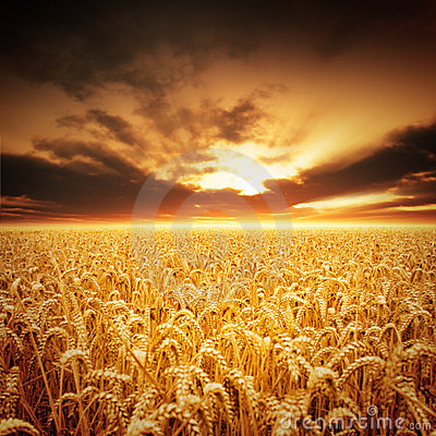 Free Golden Fields Royalty Free Stock Photos - 15756148