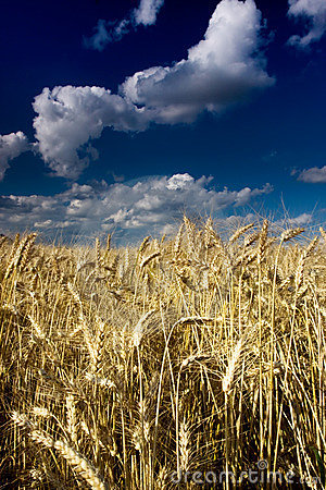 Golden Fields in the wind on a summers day