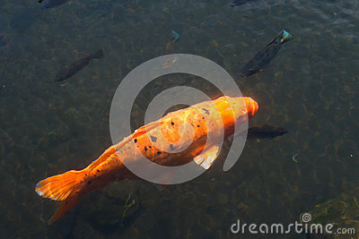 Golden Fish In Pond Royalty Free Stock Images Image 27668149