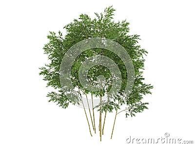 Golden_fishpole_bamboo_(Phyllostachys aurea)