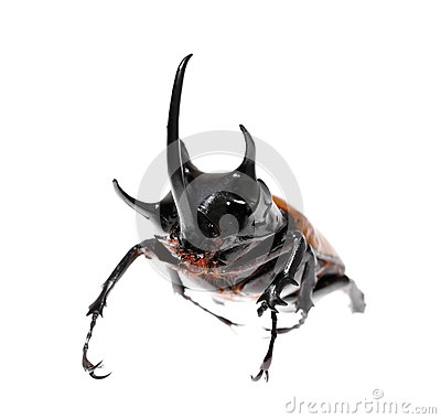 Free Golden Five Horned Rhino Beetle On A White Background. Royalty Free Stock Photography - 47536317