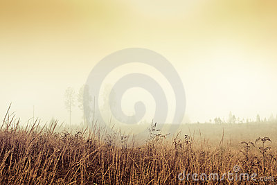Golden foggy field