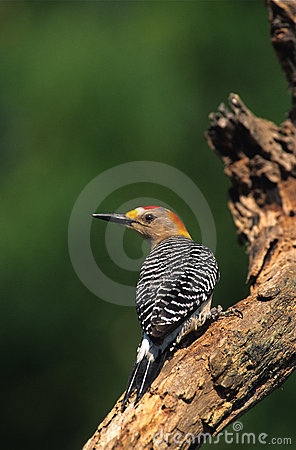 Free Golden-fronted Woodpecker Royalty Free Stock Photo - 9780525