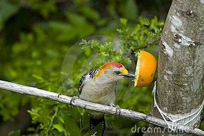 Golden-fronted Woodpecker eating an orange