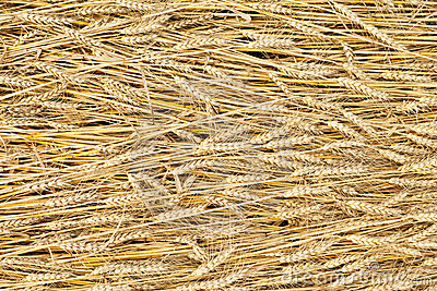 Golden fully ripe wheat fields texture background