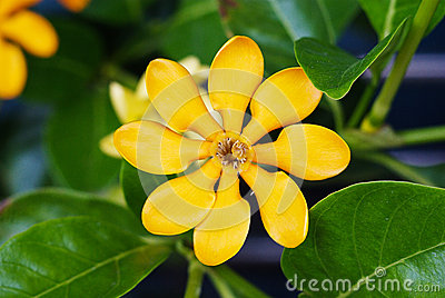 Golden gardenia flower