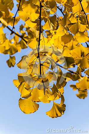 The golden ginkgo leaves