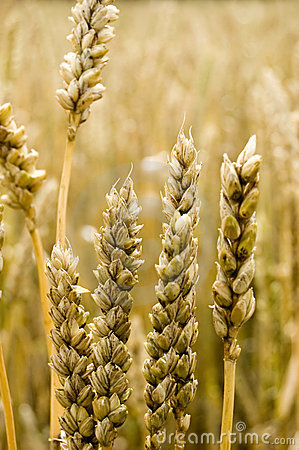Free Golden Grain Royalty Free Stock Images - 3461999