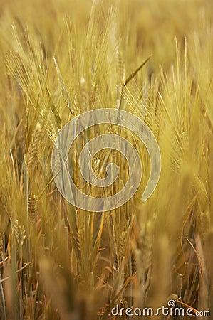 Free Golden Grain Stock Photo - 9667300