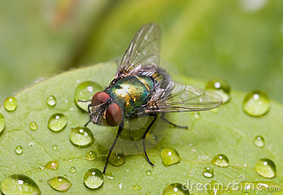 Golden-green bottle fly on a leaf, three quarters