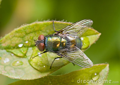 Golden-green bottle fly on a leaf, top view