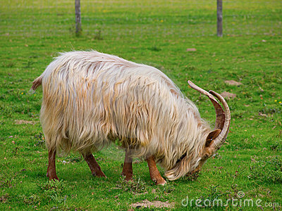 Golden Guernsey Goat eating grass