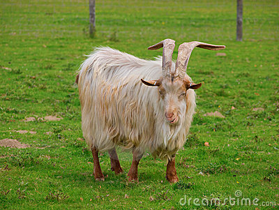 Golden Guernsey Goat facing the camera and smiling