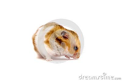 Golden hamster white - photo#11