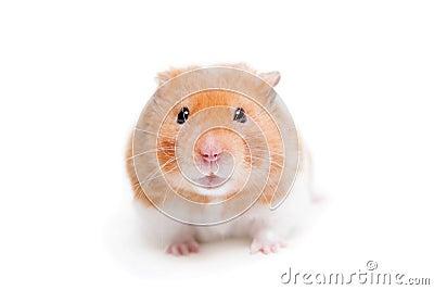 Golden hamster white - photo#12