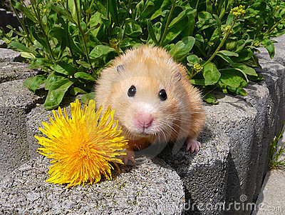 Golden hamster posing with flower