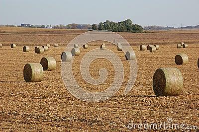 Golden haystacks on a field