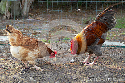 Golden headed maran rooster and hen eating