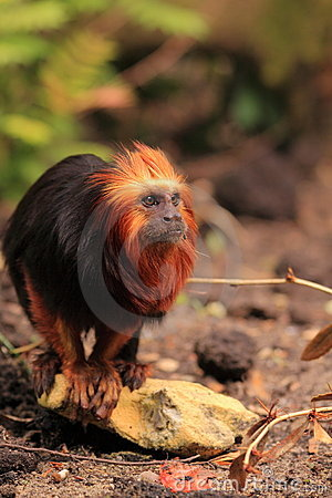 Golden headed tamarin