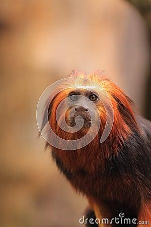 Golden headed tamarin