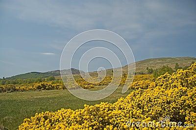 The golden hills of scotland