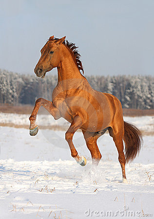 Golden horse rearing on winter field