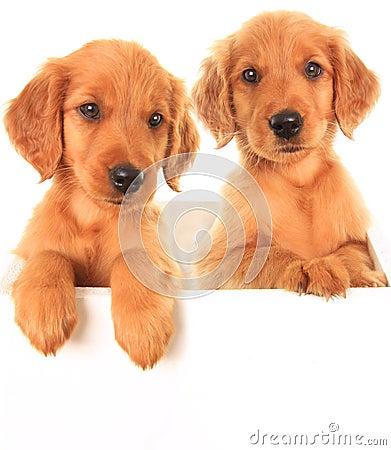 Free Golden Irish Puppies Stock Photos - 31136123