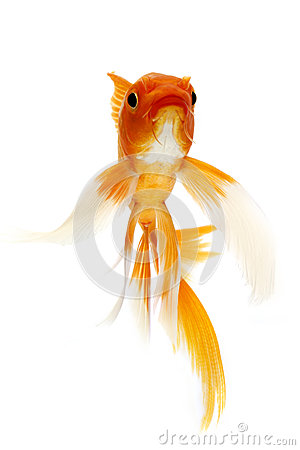 Golden Koi Fish