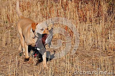 Golden Labrador With Pheasant