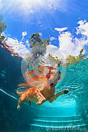 Free Golden Labrador Retriever Puppy In Swimming Pool. Underwater Funny Photo Royalty Free Stock Image - 76448216