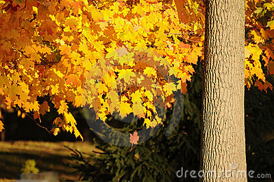Golden leaf fall
