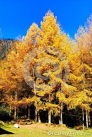 Golden Larch