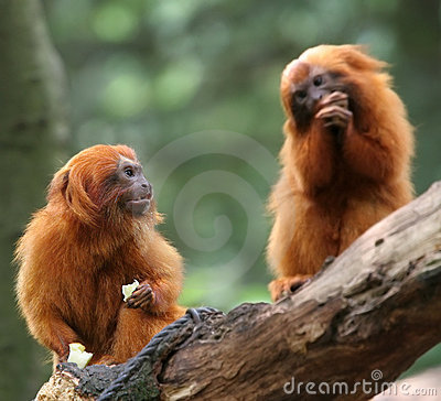 Free Golden Lion Tamarin Stock Photos - 1054893