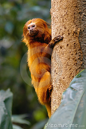Free Golden Lion Tamarin Stock Image - 423781