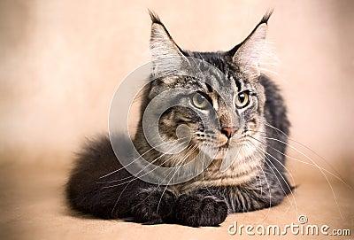 Golden Main Coon Cat